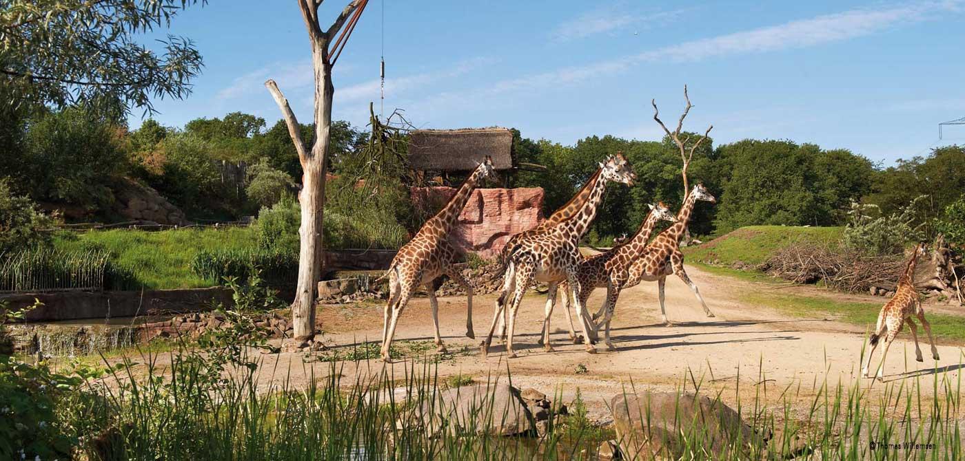 Giraffen im Gehege der ZOOM Erlebniswelt Gelsenkirchen